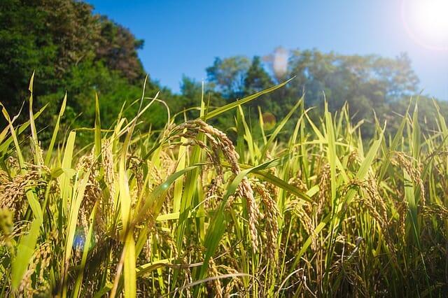 稲米の画像