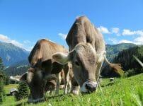 cows640